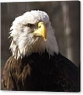 Bald Eagle 5 Canvas Print