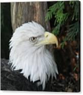Bald Eagle #8 Canvas Print