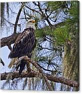Bald Eagle By H H Photography Of Florida Canvas Print