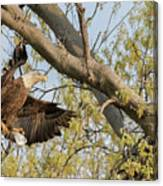 Bald Eagle Catch Of The Day  Canvas Print