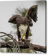 Bald Eagle Eating Fish Canvas Print