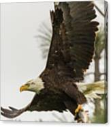 Bald Eagle Flying With Fish Canvas Print