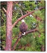 Bald Eagle Fresh Catch Canvas Print