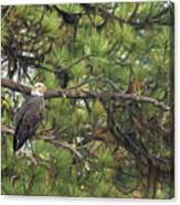 Bald Eagle In A Pine Tree, No. 4 Canvas Print