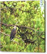 Bald Eagle In A Pine Tree, No. 5 Canvas Print