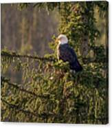 Bald Eagle In Pine Canvas Print