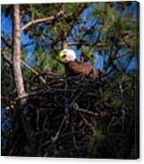 Bald Eagle In The Nest Canvas Print