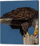 Bald Eagle Lunch Canvas Print