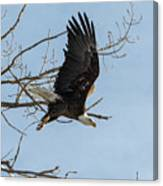 Bald Eagle Makes An Aggressive Dive Canvas Print