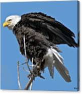 Bald Eagle On Cottonwood Tree Branches Canvas Print