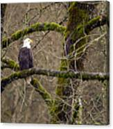 Bald Eagle On Mossy Branch Canvas Print