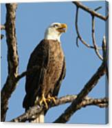 Bald Eagle On Pine Island Canvas Print