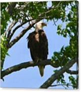Bald Eagle On Watch Canvas Print