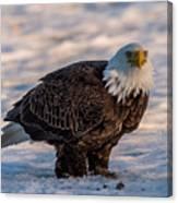 Bald Eagle Over Its Prey Canvas Print