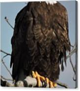 Bald Eagle Perched On Branch On A Windy Day Canvas Print