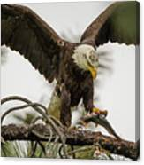 Bald Eagle Picking Up Fish Canvas Print