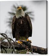 Bald Eagle Protecting His Fish Canvas Print