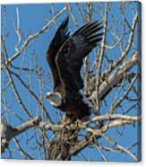 Bald Eagle Pushes Off For Launch Canvas Print