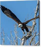 Bald Eagle Shows Its Focus Canvas Print