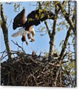 Bald Eagle Taking Fish To Nest 031520169678 Canvas Print