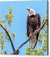 Bald Eagle Warning Canvas Print