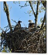 Bald Eagle With Chick In Nest 031520169849 Canvas Print