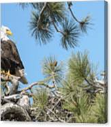 Bald Eagle With Nestling Canvas Print