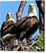 Bald Eagles In Nest Canvas Print