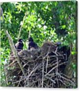 Bald Eaglet's 5 Wks 2 Canvas Print