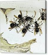 Bald Faced Hornets Canvas Print