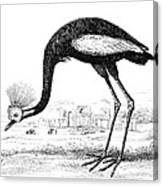Balearic Crane Canvas Print