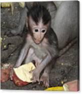 Balinese Baby Monkey Eating Canvas Print