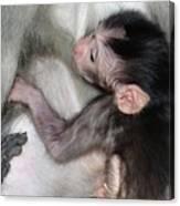 Balinese Baby Monkey Feeding Canvas Print