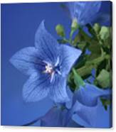 Balloon Flowers - Blooms And Buds Canvas Print