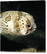 Balloonfish Profile Puffer Fish, Diodon Canvas Print