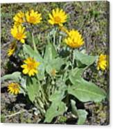 Balsamroot Canvas Print