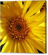 Balsamroot Flower Canvas Print