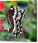 Baltimore Checker Spot Butterfly Canvas Print