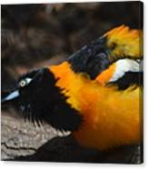 Baltimore  Oriole 2 Canvas Print