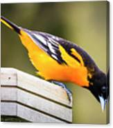 Baltimore Oriole About To Jump Canvas Print