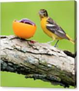 Baltimore Oriole Having Breakfast This Morning Canvas Print