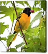 Baltimore Oriole With Raspberry  Canvas Print