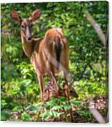 Bambi's Mom Canvas Print