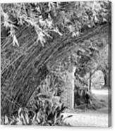 Bamboo Black White Rip Van Winkle Gardens  Canvas Print