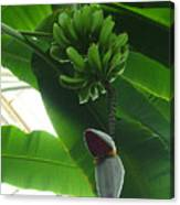 Banana Plant Kew London England Canvas Print