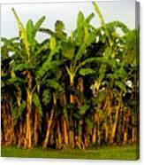 Banana Trees Canvas Print