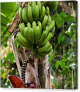 Bananas In Africa Canvas Print