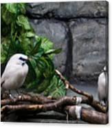 Bandit Birds Canvas Print