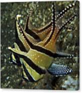 Banggai Cardinalfish With Egg, North Canvas Print