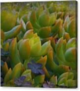 Bank Of Succulents Canvas Print